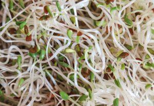 Alfalfa im Wachstum